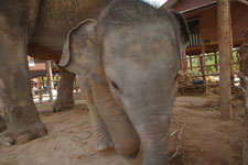 Nopa-Gao---baby-elephant-in-Thailand
